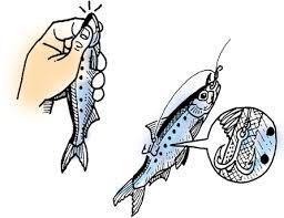 DAIWA : 23.ヒラメを活きイワシを使った胴突き仕掛けの泳がせ釣りで ...